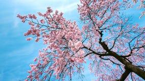 Czereśniowy okwitnięcie z Miękką ostrością, Sakura sezon w wiośnie Zdjęcia Royalty Free