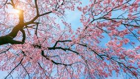 Czereśniowy okwitnięcie z Miękką ostrością, Sakura sezon w wiośnie Zdjęcie Stock