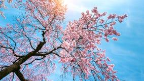 Czereśniowy okwitnięcie z Miękką ostrością, Sakura sezon w wiośnie Zdjęcie Royalty Free