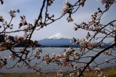 Czereśniowy okwitnięcie z Mt fuji Obrazy Royalty Free