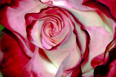 Czereśniowy Parfait róży kwiat Makro- Obraz Stock