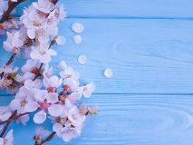 Czereśniowy piękny okwitnięcie może świętowanie gałęziasta wiosna na błękitnym drewnianym tle zdjęcie royalty free