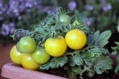 czereśniowy pomidor Obraz Royalty Free