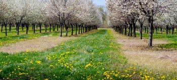 Czereśniowy sad w południowo-zachodni Michigan zdjęcie stock