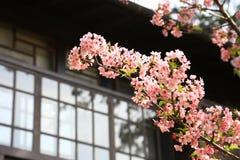 Czereśniowy Sakura Kwitnie Japońskim domem Obrazy Royalty Free