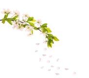 czereśniowych kwiatów lekkich płatków różowy drzewo Fotografia Stock