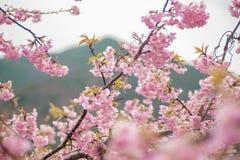 Czereśniowych okwitnięć kawazu Japonia fotografia stock