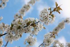 Czereśnia kwiaty Fotografia Royalty Free
