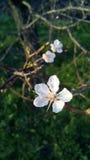 czereśniowa wiosna zdjęcie stock