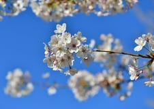 Czereśniowego drzewa kwiaty Fotografia Royalty Free