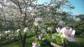 Czere?niowego okwitni?cia drzewo, Sakura kwiat W wio?nie Natury i wiosny t?o zdjęcie wideo