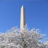 czereśniowego Washington pomnikowego kwiaty zdjęcie royalty free