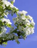Czereśniowi drewno kwiaty Zdjęcia Royalty Free