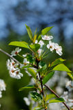 Czereśniowi kwiaty Obraz Stock
