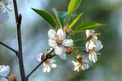 Czereśniowi kwiaty Fotografia Stock