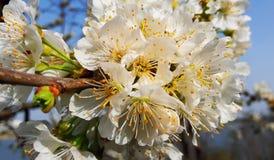 Czereśniowi kwiaty Zdjęcia Royalty Free