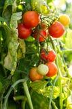 Czereśniowi pomidory r w ogródzie Obraz Royalty Free