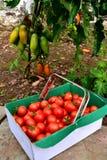Czereśniowi pomidory w szklarni Obrazy Stock