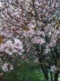 Czereśniowi wiosna kwiaty Obrazy Stock