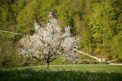 czereśniowy drzewo zdjęcia stock