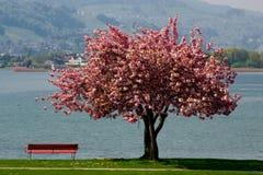 czereśniowy drzewo Obraz Royalty Free