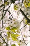 Czereśniowy drzewo Zdjęcie Royalty Free