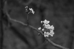 Czereśniowy drzewo kwitnie w czerni Zdjęcia Stock