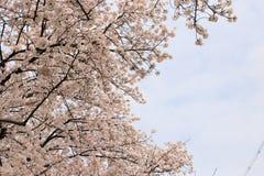 Czereśniowy drzewo na Gojo rzece Obrazy Stock