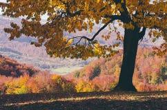 Czereśniowy drzewo w jesieni Fotografia Royalty Free