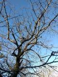 Czereśniowy drzewo w zimie Obrazy Royalty Free