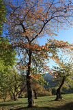Czereśniowy drzewo z jesieni ulistnieniem w Pyrenees Zdjęcie Royalty Free
