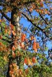 Czereśniowy drzewo z jesieni ulistnieniem w Pyrenees Obrazy Stock