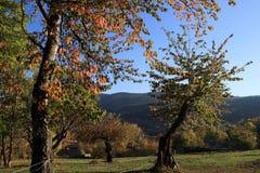 Czereśniowy drzewo z jesieni ulistnieniem w Pyrenees Obraz Royalty Free