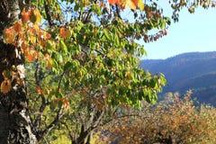 Czereśniowy drzewo z jesieni ulistnieniem w Pyrenees Zdjęcie Stock