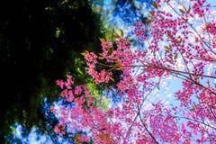 czereśniowy himalajski dziki Fotografia Royalty Free