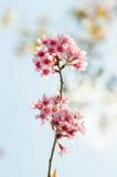 czereśniowy himalajski dziki Zdjęcie Royalty Free