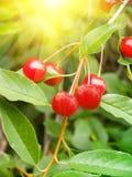 czereśniowy jagody drzewo Zdjęcia Royalty Free