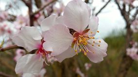 Czereśniowy kwiat podczas wiosny Obraz Stock