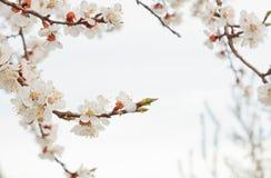 Czere?niowy okwitni?cie w wiosce przeciw bia?emu niebu wiosna krajobraz odrodzenie natura Biali kwiaty na owocowym drzewie zdjęcie royalty free