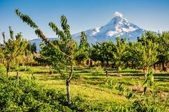 Czereśniowy sad - góra Rainer obrazy stock