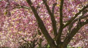 Czereśniowych drzew menchii dach Zdjęcie Stock
