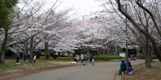 czere?niowych drzew wiosna 2019 zdjęcia stock