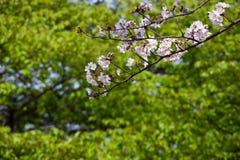czere?niowych drzew wiosna 2019 obraz stock