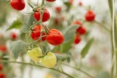 Czereśniowych pomidorów organicznie warzywo zdjęcia royalty free