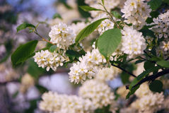 Czeremchowi drzewo kwiaty Zdjęcie Stock