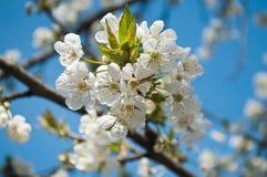 czereśniowego białe kwiaty Fotografia Royalty Free