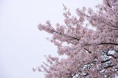Czereśniowi okwitnięcia w wiosna sezonie przy Japan Zdjęcia Royalty Free
