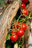 czereśniowy pomidor Fotografia Stock