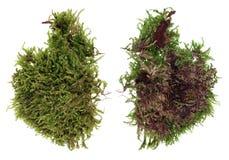 Czerep naturalny europejski lasowej zieleni mech i liszaj roślina odosobniony zdjęcia stock