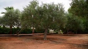 Czerep ogród z drzewami oliwnymi w Listopadzie w Cypr zbiory